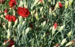 Как выращивать гвоздику Шабо в саду, описание, посадка, уход