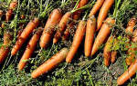 Когда лучше сажать морковь, чтобы сохранить — видео