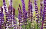 Выращивание шалфея мускатного — особенности растения, видео