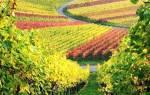 Фото и описание сортов винограда — Волгоград, Ландыш, Памяти Учителя, Плевен + видео