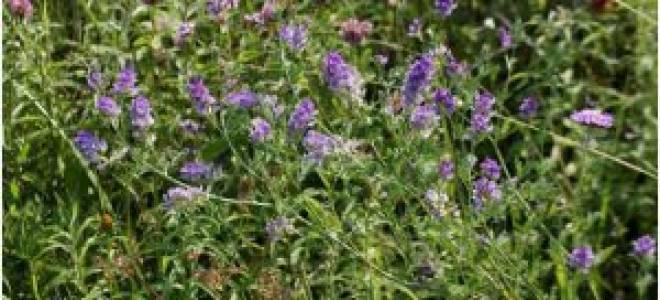 Восемь токсичных трав, которые нельзя давать курам, видео