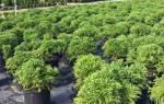 Японский кедр — особенности, выращивание криптомерии, видео