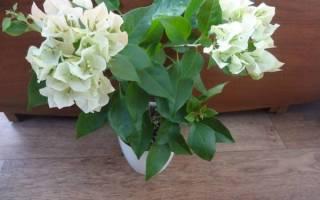 Бугенвиллия голая — особенности сорта, правила ухода, освещение, видео