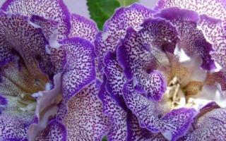 Глоксиния — размножение листом, подготовка почвы и листовых пластин, видео