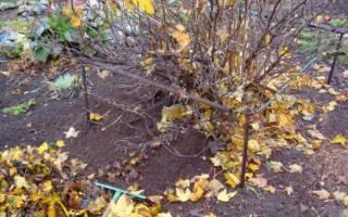 Обработка крыжовника после сбора урожая осенью — видео