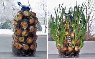Зеленый лук на подоконнике — способы выращивания, правила посадки и ухода, видео