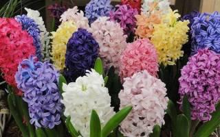 Гиацинты — выгонка в горшках для успешного цветения, видео