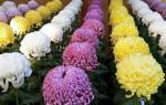 Выращивание хризантемы на срез в теплице, видео