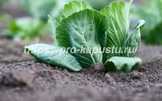 Что посадить после капусты, а какие культуры нельзя там выращивать, видео