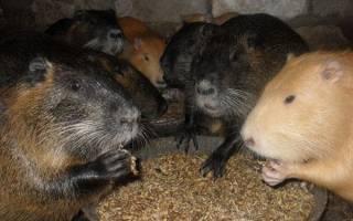 Корм для нутрий — рацион питания животных, специальные добавки, видео