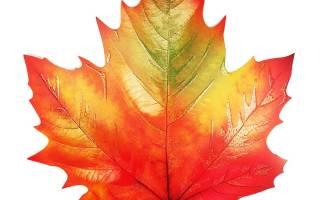 Лечебные свойства листьев клена и противопоказания, отвар, видео