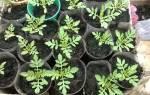 Посев бархатцев на рассаду — сроки посева семян, подготовка грунта, видео