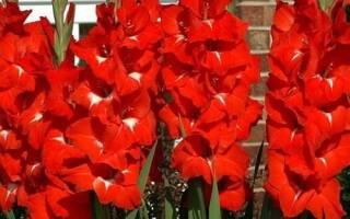 Гладиолус Традерхорн: описание сорта, особенности выращивания, видео