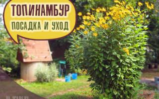 Топинамбур -выращивание и уход на даче, как сажать весной растение, фото, видео