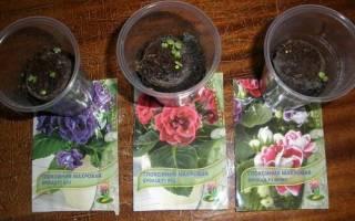 Как вырастить глоксинию из семян: посев, уход за рассадой, видео