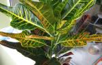 Кротон — уход в домашних условиях, как правильно ухаживать за цветком, фото, видео