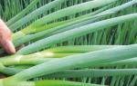 Лук-батун — выращивание и уход, посадка весной, к зиме, видео