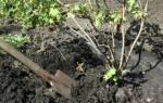 Советы когда пересаживать смородину — осенью, весной, летом, видео