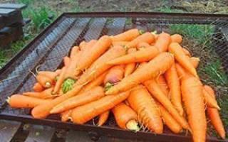 После чего можно сажать морковь — предшественники + видео