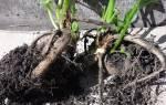 Когда проращивать георгины, сроки закладки клубней, видео