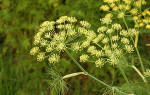 Фото болезней укропа, способы борьбы с желтыми, красными, черными растениями + видео