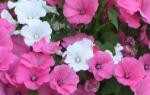 Лаватера — выращивание из семян, когда сажать рассаду в открытый грунт, фото, видео