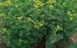 Выращивание руты — посадка и уход, способы размножения, видео