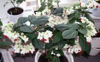 Почему не цветет клеродендрум и как помочь растению, видео