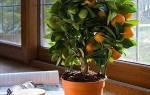 Каламондин — выращивание, уход и пересадка в домашних условиях, можно ли есть плоды цитруса, видео
