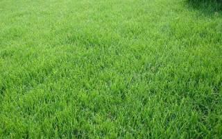 Газон из мятлика — выбор сорта травы, как и когда сажать, правила ухода, видео