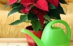 Пуансеттия в домашних условиях — акклиматизация после приобретения, уход, освещение и месторасположение, влажность воздуха и полив, почва, видео