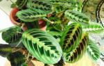 Как называется цветок с цветными листьями, пестролистные растения
