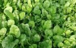 Виды и сорта шпината — Крепыш, Виктория, Спирос, Матадор, Спокейн, видео