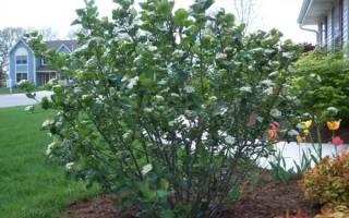 Размножение черноплодной рябины черенками, семенами, видео