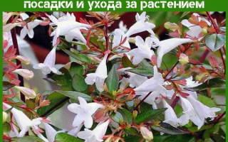 Абелия крупноцветковая — уход в домашних условиях, видео