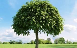 Дерево катальпа — условия выращивания в умеренных широтах, видео