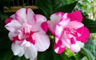 Почему не цветет ванька мокрый (бальзамин): причины проблемы, видео