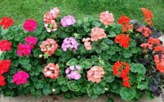 Садовая герань многолетняя — посадка и уход, когда можно высаживать герань в открытый грунт в саду или на улице на даче, видео