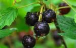 Йошта — посадка и уход, размножение, когда и как посадить, видео