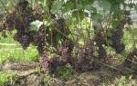Посадка, уход, выращивание сортов винограда для Подмосковья + видео
