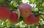 Яблоня Орлик — описание сорта, посадка и уход, обрезка, полив, видео