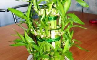 Драцена Сандера — уход и размножение растения сандериана или бамбук в домашних условиях, фото, видео
