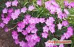 Альпийская гвоздика: описание растения и особенности его выращивания, видео