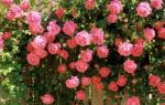 Посадка вьющихся роз и дальнейший уход за ними, видео