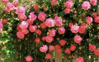 Где сажать плетущиеся розы и как за ними ухаживать, видео