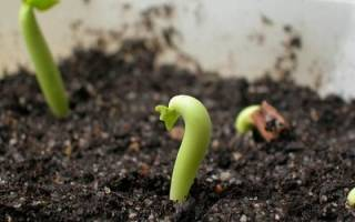 Как посадить грецкий орех на даче в Подмосковье, Белоруссии весной, видео
