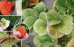 Борьба с вредителями клубники инсектицидами, народными средствами, видео