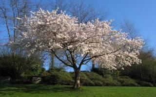 Абрикосы — правила обрезки дерева с первого года жизни, формирование кроны, видео