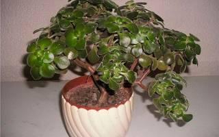 Цветок аихризон дерево счастья — как ухаживать, размножение, видео