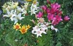 Самый предпочитаемый дачный цветок лилия — видео